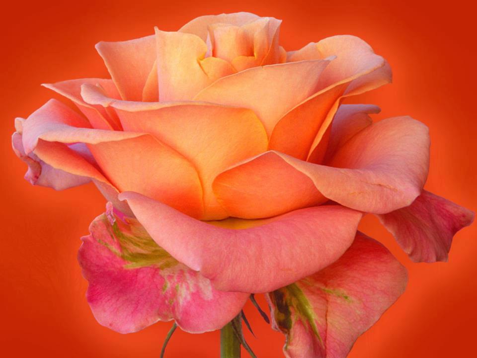 beautiful rose and beautiful background