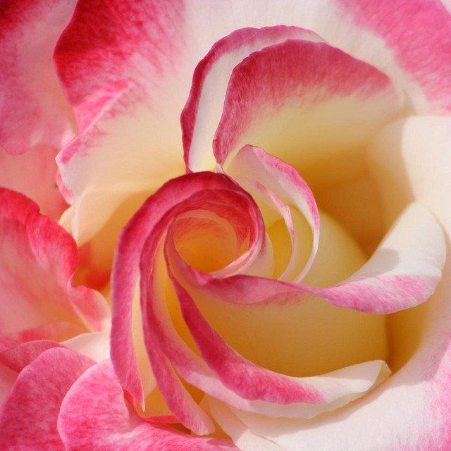 amazing rose