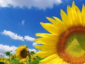 sunflower image~you are a powerful soul