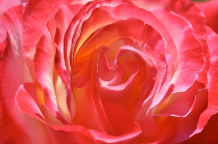 Kauai Rose