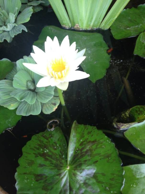 Light in the Lotus