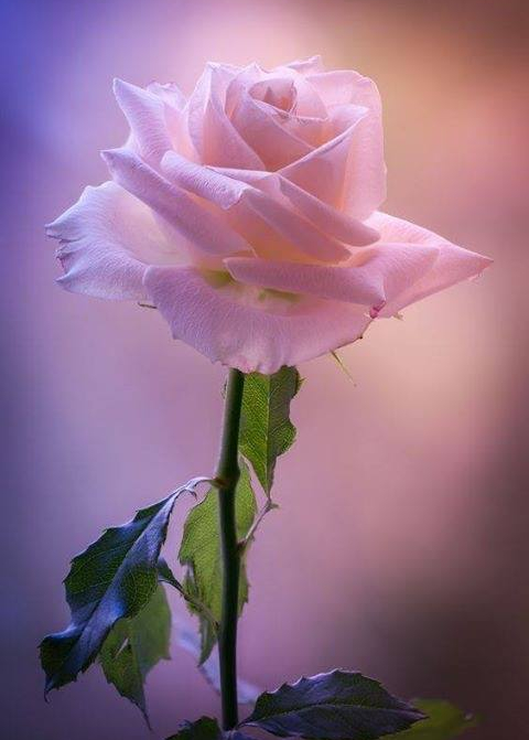 pink rose with pink aura