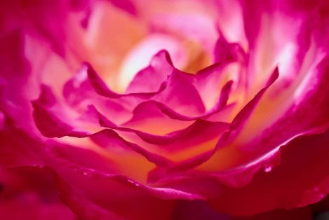 cropped-cropped-blissful-rose-from-deanna.jpg