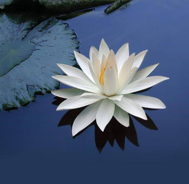 Lotus on Blue Water